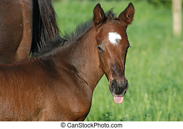 Foal with tongue out