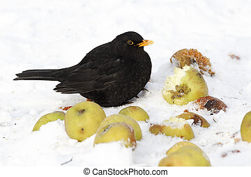 Blackbird, Turdus merula, Single male on apples in snow, West Midlands, December 2010
