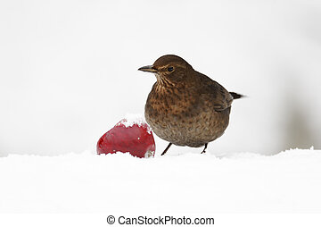 Blackbird, Turdus merula, Single female with apple in snow, West Midlands, December 2010