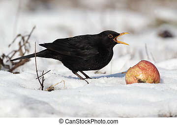 Blackbird, Turdus merula, single male eating apple in the snow, Midlands, winter 2010