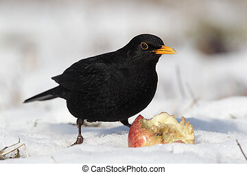 Blackbird, Turdus merula, single male eating apple in the...