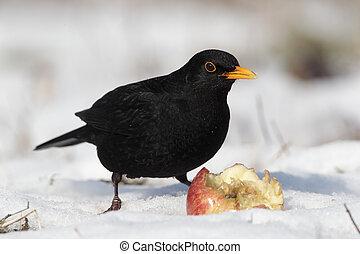 Blackbird, Turdus merula, single male eating apple in the...
