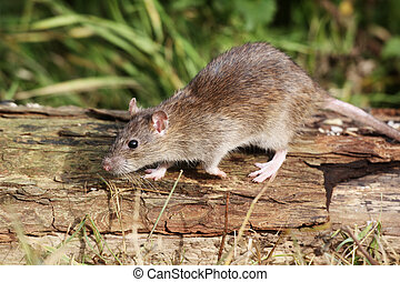 Brown rat, Rattus norvegicus, single animal on log,...