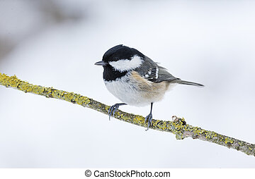 Coal tit, Parus ater, single bird on branch, West Midlands,...