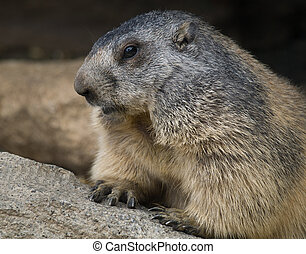 Groundhog closeup - Groundhog in the Pyrenees mountains in...
