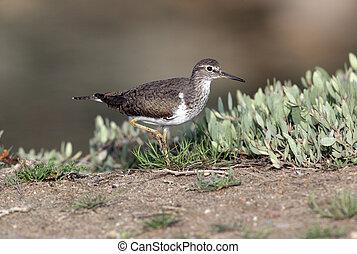 Common sandpiper,Tringa hypoleucos, single bird, Western...