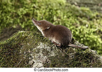 Common shrew, Sorex araneus, single animal, Midlands, August...