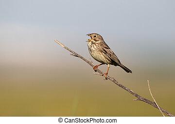 Corn bunting, Emberiza calandra, single bird on branch...