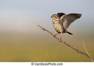Corn bunting, Emberiza calandra, single bird on branch wing...