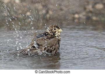 Corn bunting, Emberiza calandra, single bird bathing in...