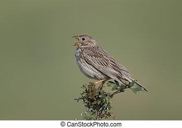 Corn bunting, Emberiza calandra, single bird singing from...