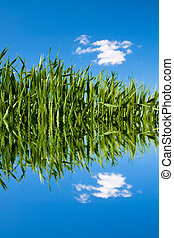 Green wheat field with water ripples