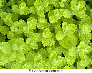 Beautiful fresh wild mint background - Macro pictures of a...