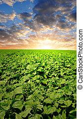 sunflower field in the sunset - growing sunflower field in...