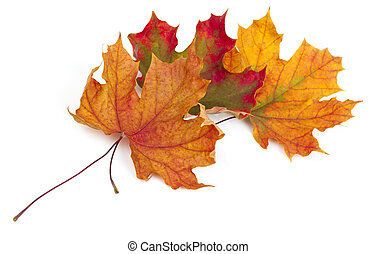 maple autumn leaves isolated on white background - maple...