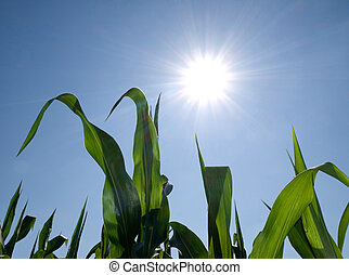 Corn against sun - Corn crops against shining sun during...