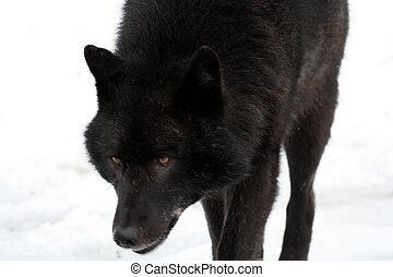 Alaska Lone Wolf - This is a male Alexander Archipelago wolf...