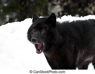 Alaska Lone Black Wolf - Male Alexander Archipelago Wolf...