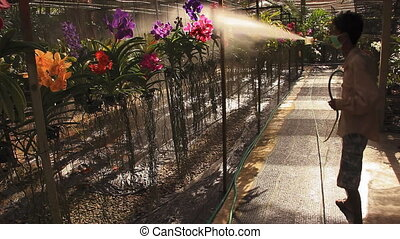 Man spray orchids - Man sprays water on orchids Langkawi,...