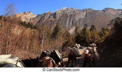 Horses Pisang. - Transportation of goods on mules in...