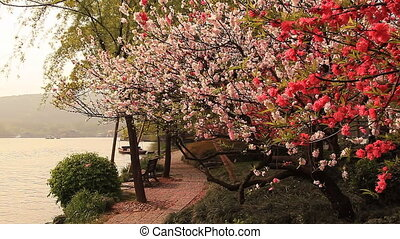 Blossoming cherry - Blossoming cherry in Hangzhou, China