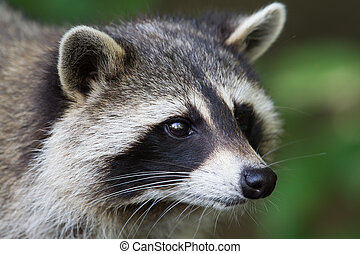 Raccoon close-up - A close-up portrait of an adult raccoon