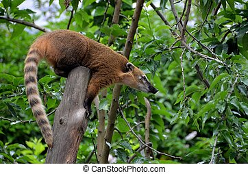 South american coati - A brown south american coati.