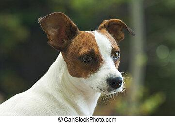 Jack Russell Terrier Portrait - Majestic Alert Jack Russell...