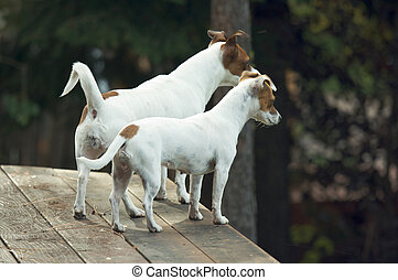 Jack Russell Terriers Ready to Hunt - Majestic Alert Jack...
