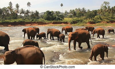 Elephant calf. - The elephant calf approaches to the mother....