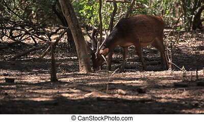 Deer - The deer inclines the head to the earth Rinca island,...