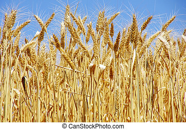 Ripe spikes of wheat