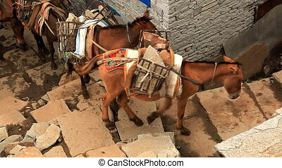 Transportation of freights on mules Nepal, Himalayas