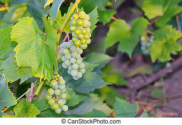 green grapes in vineyard - three bunch of grapes on the vine