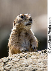 Shocked Marmot - The Alpine Marmot (Marmota marmota), a...