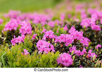 Rhododendron - Beautiful flowers of alpine rhododendron. Few...