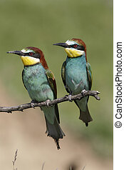 European bee-eater, Merops apiaster, two birds perched on...