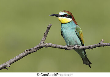 European bee-eater, Merops apiaster, single bird perched on...