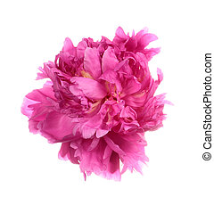 Dishevelled pink peony isolated on white background