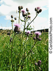 Cirsium arvense.