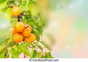 Ripe apricots growing on a branch on a blurred background