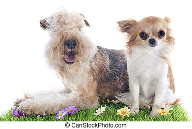 lakeland terrier and chihuahua in front of whie background