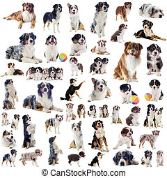 australian shepherds - group of purebred australian shepherd...