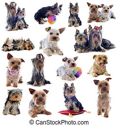 group of yorkshire terrier - composite picture of purebred...