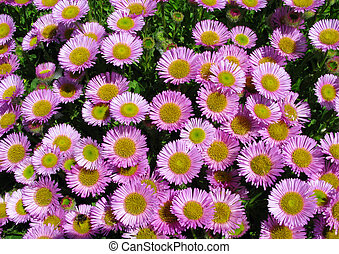 Colorful pink Aster Alpinus flowers growing in Cornwall, UK.