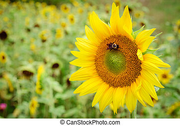 Close up of sunflower in field with room for copy