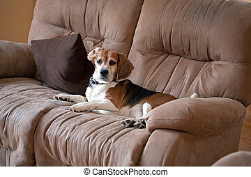 Beagle Dog on the Couch - A sneaky dog caught sleeping on...