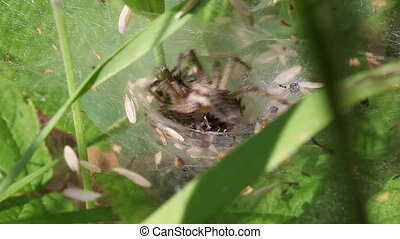 Wolf Spiders - Lycosidae - pairing - Wolf spiders in mating...