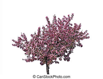 Blooming plum tree, isolated