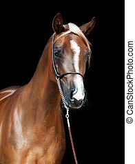 portrait of young arabian filly at black background